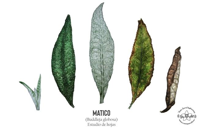 Matico hojas def
