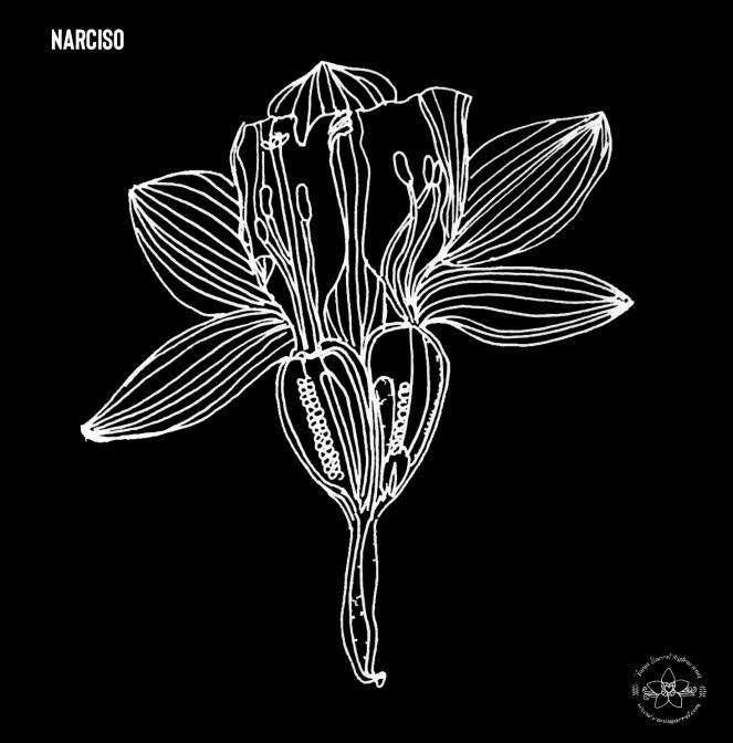 narciso1