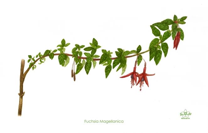 Fuchsia magellanica - Vania Sarret.jpg