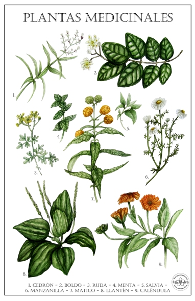 lámina plantas medicinales para pagina web